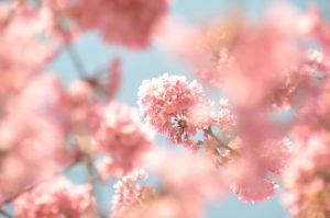 """Fotografie von Heike Stommel mit dem Titel """"Kirschblütenblau"""""""