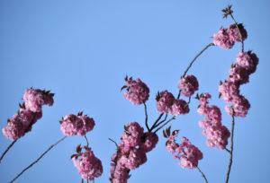 """Fotografie von Heike Stommel mit dem Titel """"Kirschblütenfest"""""""