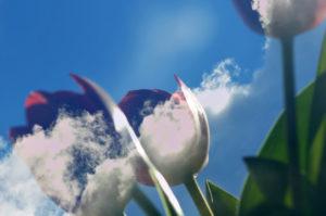 """Fotografie von Heike Stommel mit dem Titel """"Tulpenhimmel"""""""