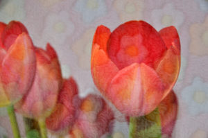 """Fotografie von Heike Stommel mit dem Titel """"Tulpenflausch"""""""